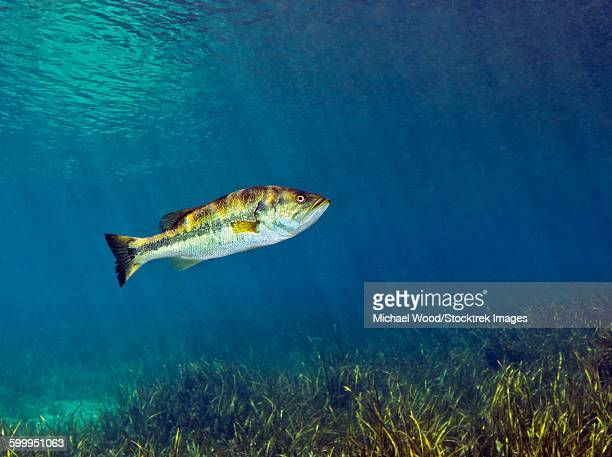 a florida largemouth bass swims over the grassy river bottom. - largemouth bass stock pictures, royalty-free photos & images