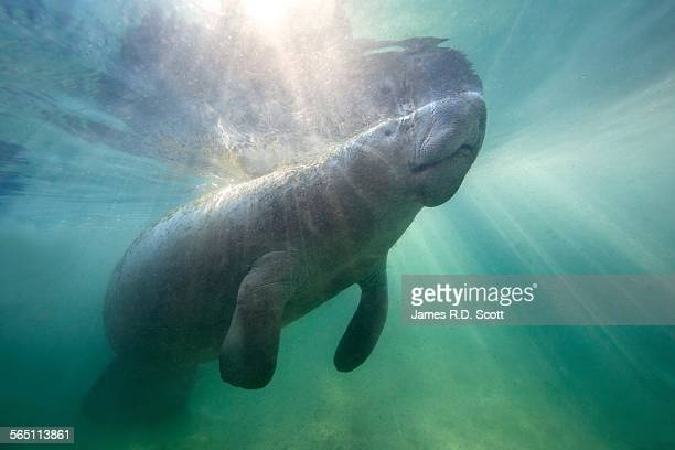 Florida Manatee in Crystal River