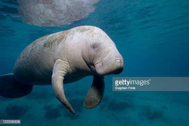 florida manatee in the crystal river area - florida manatee stock pictures, royalty-free photos & images