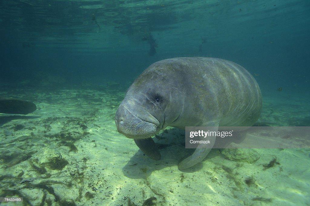 Florida manatee on ocean floor : Stockfoto