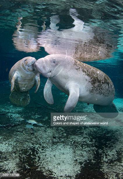 florida manatee or west indian manatee - dugong stock pictures, royalty-free photos & images