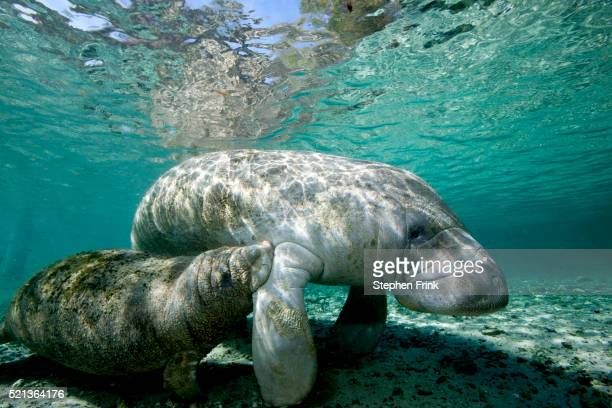 florida manatee - florida manatee stock pictures, royalty-free photos & images