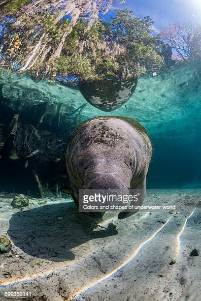Florida Manatee resting in the sunlight
