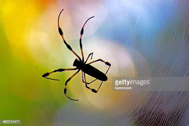 USA, Florida, Orange County, Orlando, Golden Orb Spider