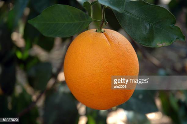 florida orange - orange orchard stock photos and pictures