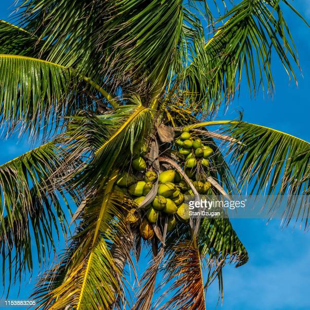 florida palm tree with coconuts - coconut oil stock pictures, royalty-free photos & images