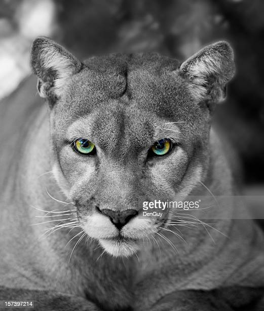 Florida Panther Black & White Eyes in Color