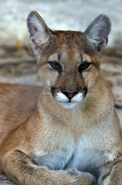 Florida Panther, endangered