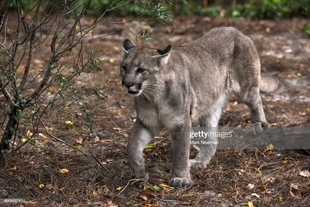 a11be86ac02 Florida Panther Female Stock Photo | Getty Images