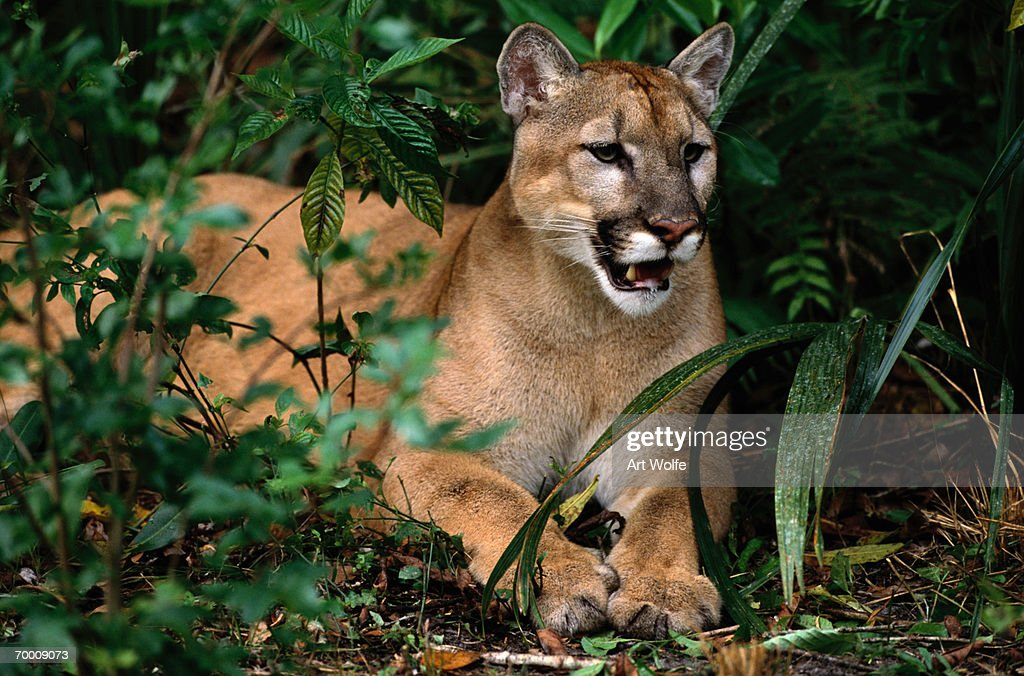 7a6fdf5b0d7 Florida panther (Felis concolor coryi) resting on ground, Florida : Stock  Photo