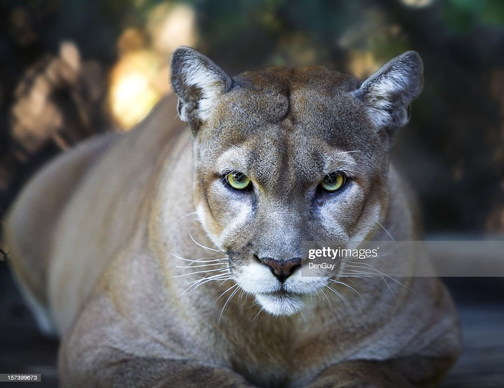 Florida Panther Stares Intensely at Camera Close Up : Stock Photo
