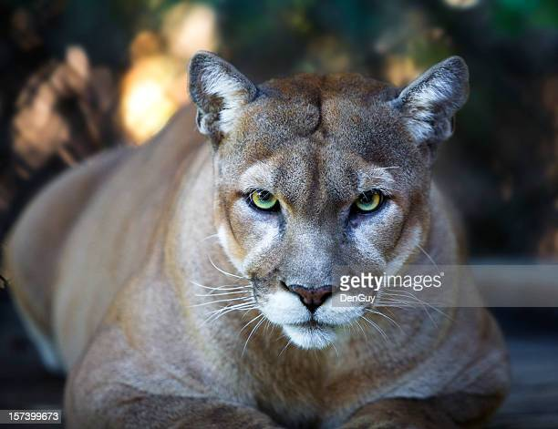 Florida Panther Stares Intensely at Camera Close Up