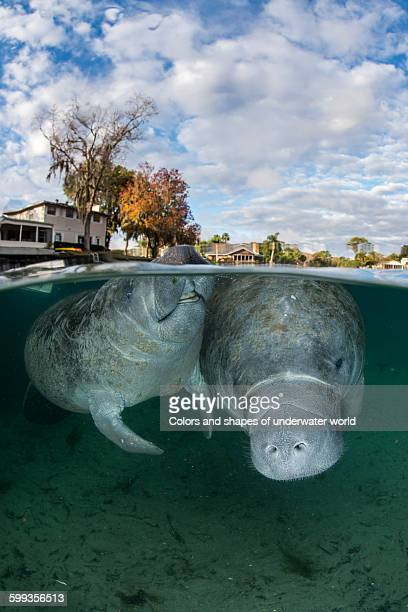 Florida residential area with two floating manatee