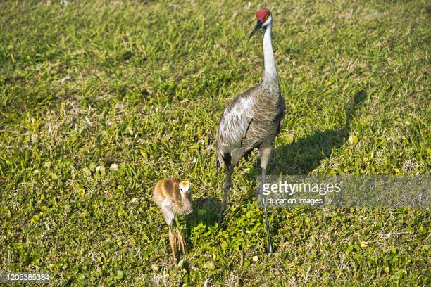 Florida, Sarasota, Celery Fields, Sand hill Crane and Chick Learning to Feed.