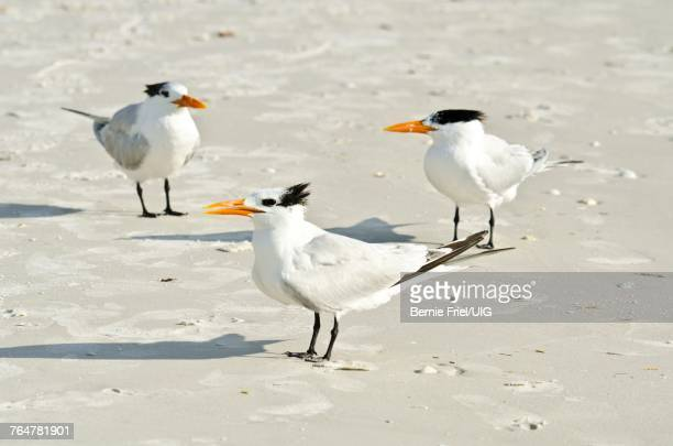 florida, sarasota, crescent beach siesta key, royal terns - siesta key stock pictures, royalty-free photos & images