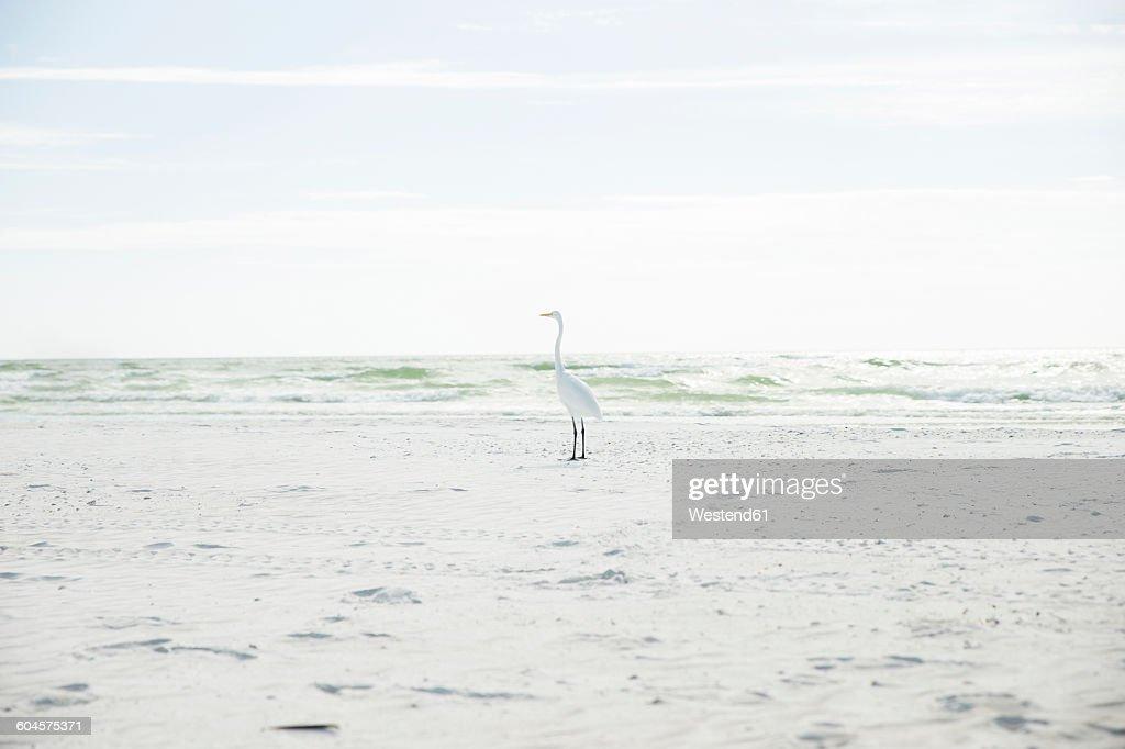 USA, Florida, Sarasota, Siesta Key, heron on beach : Stock Photo