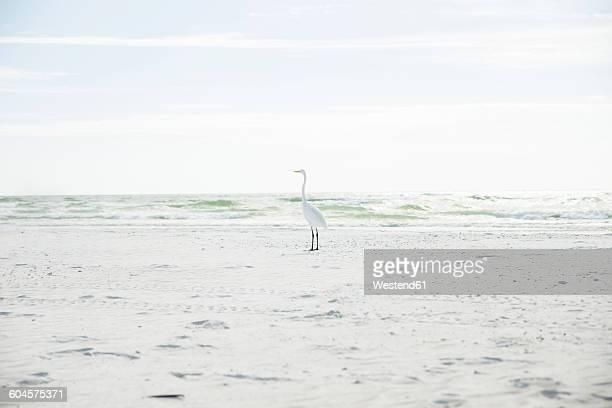 usa, florida, sarasota, siesta key, heron on beach - siesta key stock pictures, royalty-free photos & images