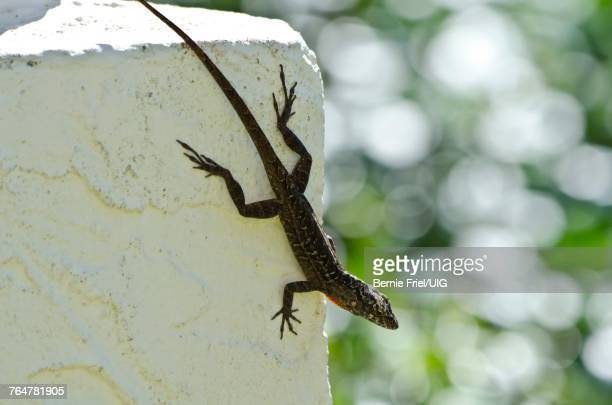 florida, sarasota, siesta key, house lizard - siesta key stock pictures, royalty-free photos & images