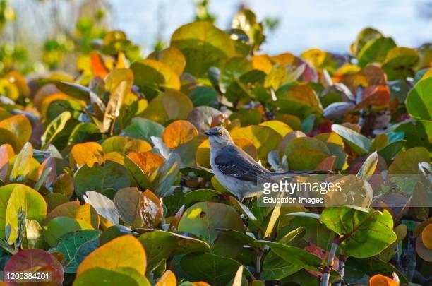 Florida, Sarasota, Siesta Key, Mockingbird perched in Colorful Sea Grapes.