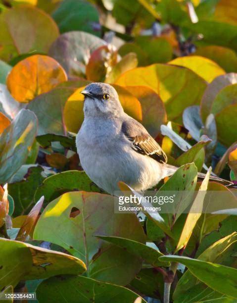 Florida, Sarasota, Siesta Key, Mockingbird perched in Colorful Sea Grapes.
