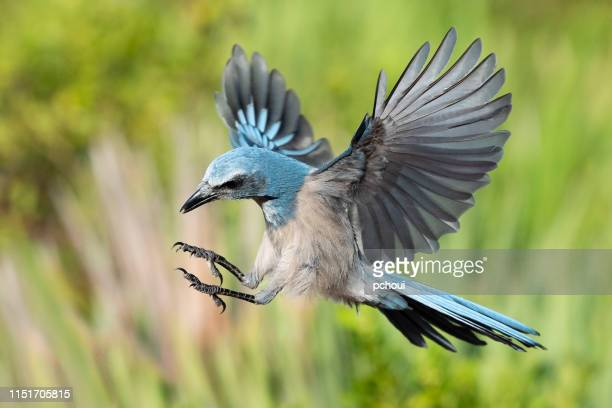 florida scrub jay, aphelocoma coerulescens, endangered specie, in flight - endangered species stock pictures, royalty-free photos & images