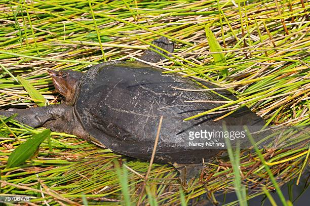 Florida softshell turtle, Apalone ferox, sunning itself on a creek bank. Everglades National Park, Florida, USA. UNESCO World Heritage Site (Biosphere Reserve).