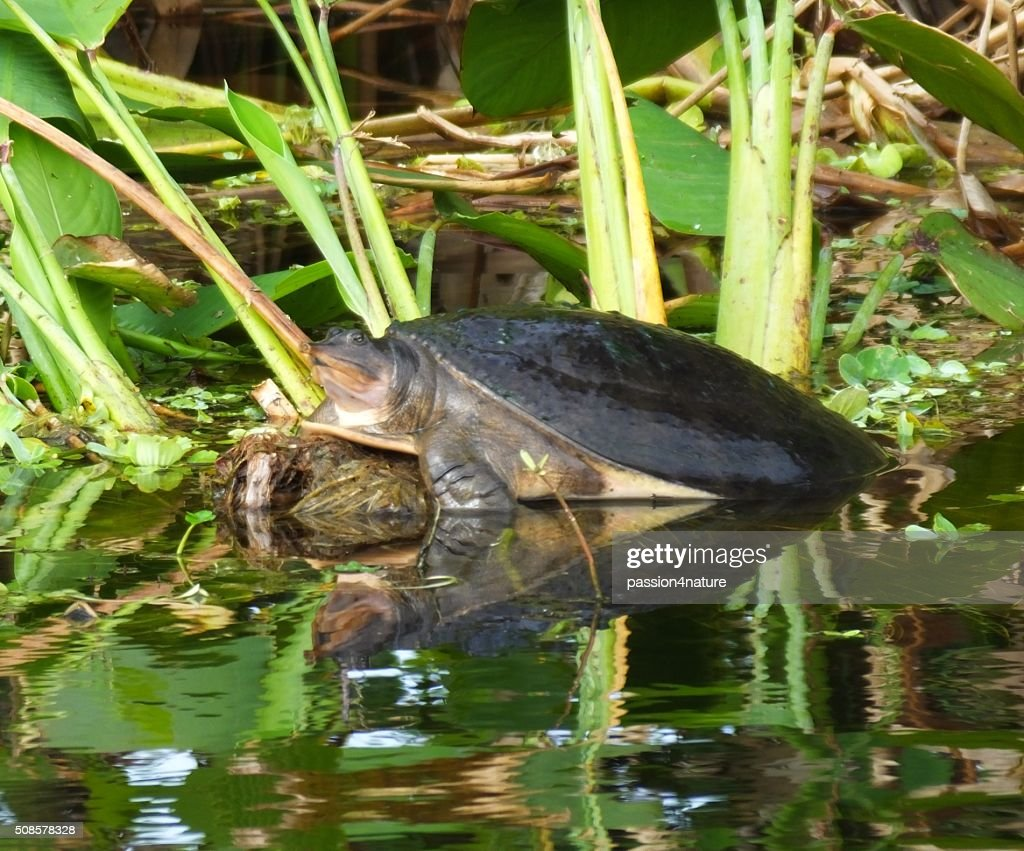 Florida Softshell Turtle (Apalone ferox) : Stockfoto