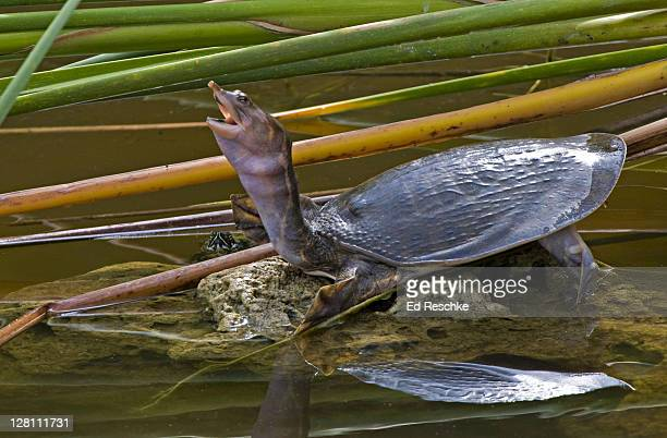 Florida Softshell Turtle with extended neck, Trionyx ferox. The shell is soft and leathery devoid of scales or scutes. Thoroughly aquatic. Six mile cypress swamp, Ft. Myers, Florida.