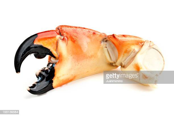 florida stone crab - crab stock photos and pictures