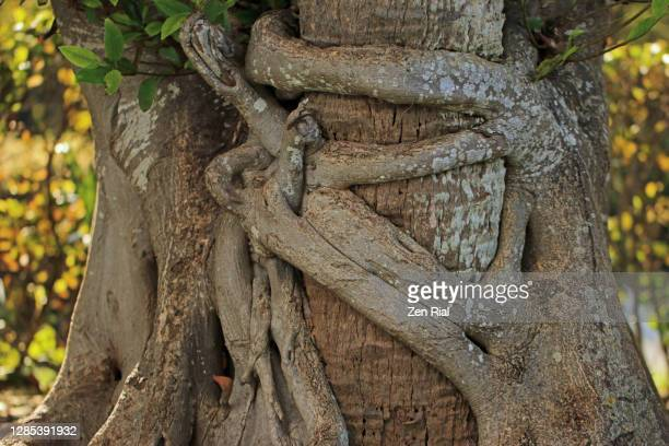 florida strangler fig attached to a palm tree against sunny background - branch stock pictures, royalty-free photos & images