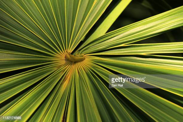florida thatch palm leaf against black background - thrinax radiata - photosynthesis stock pictures, royalty-free photos & images