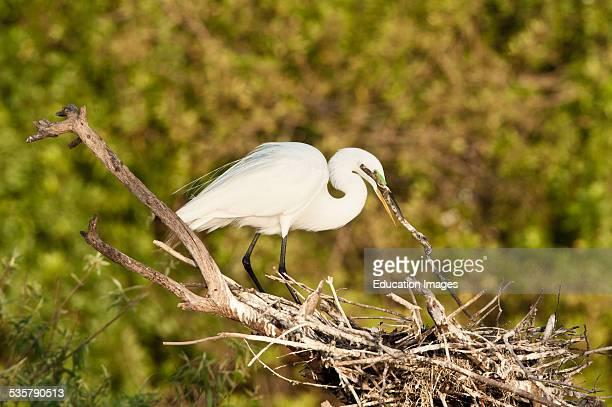 Florida, Venice, Audubon Sanctuary, Common Egret Perched in Rookery Building Nest.