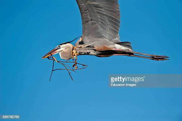 Florida Venice Great Blue Heron Flying ready soaring with nest materials