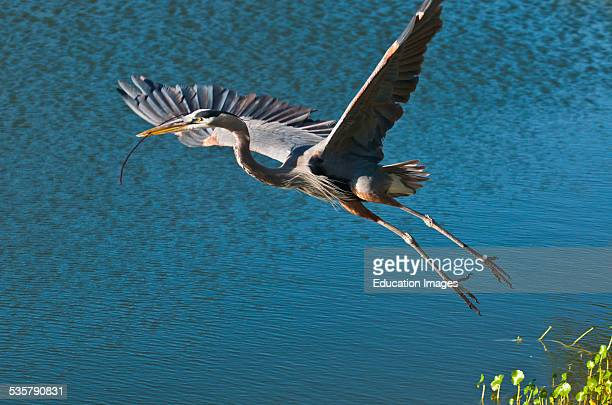 Florida Venice Great Blue Heron Flying taking off with nest material