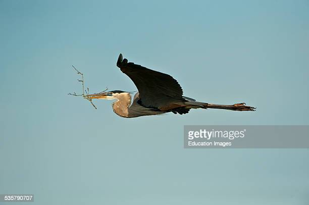 Florida Venice Great Blue Heron Flying with Nest Materials