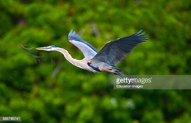 Florida Venice Great Blue Heron Flying with nesting materials over water foliage Reflected in water