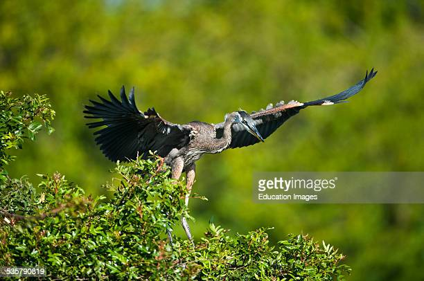 Florida Venice Great Blue Heron landing in Rookery