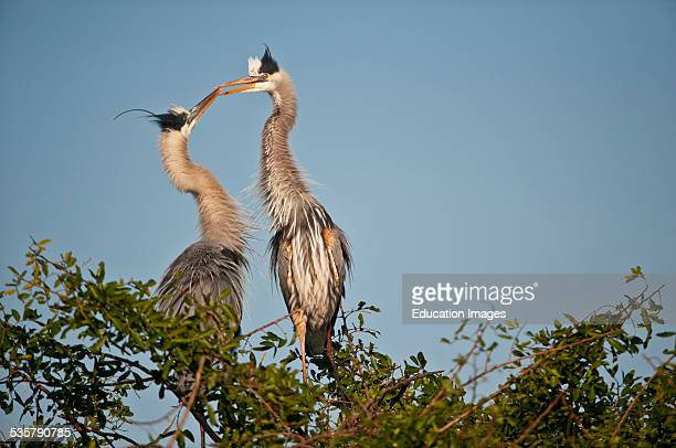 Florida Venice Great Blue Herons Courting in clappering behavior