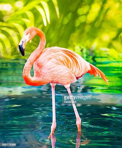 usa, florida, west palm beach, flamingo wading in water - flamingo stockfoto's en -beelden