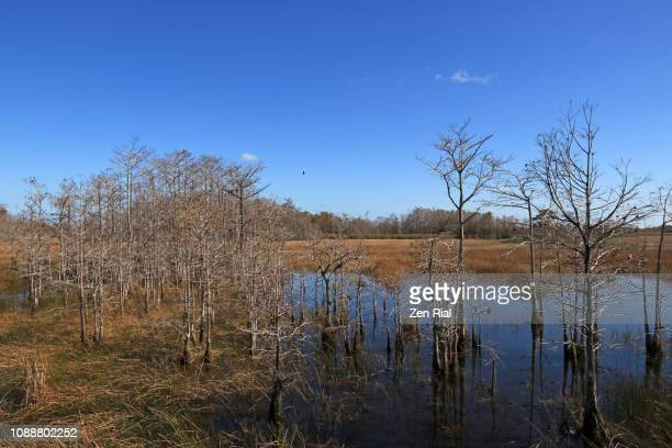 florida wetland scene at wintertime showing bare cypress trees and saw grass - marsh stock pictures, royalty-free photos & images