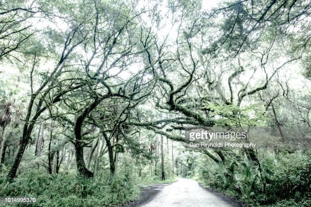 florida,usa,tree-lined road - musgo español fotografías e imágenes de stock