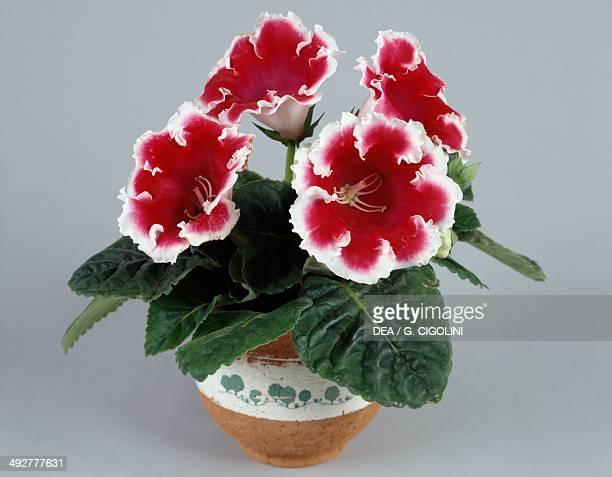 Florist's gloxinia Gesneriaceae