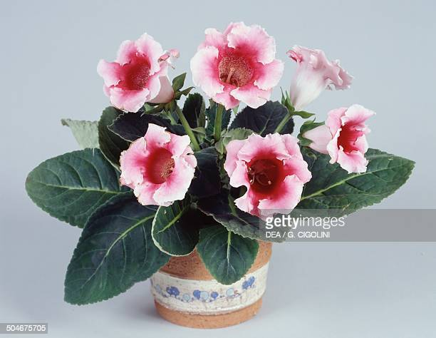 Florist's gloxinia or Brazilian gloxinia Gesneriaceae