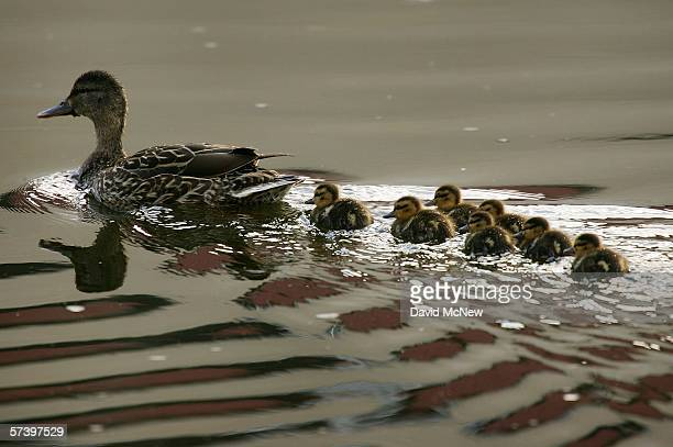 A flotilla of mallard ducklings follows its mother in the Los Angeles River on April 21 2006 in Los Angeles California Yesterday officials unveiled...