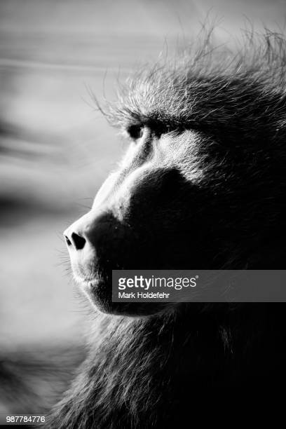 bw flou - chacma baboon stock photos and pictures