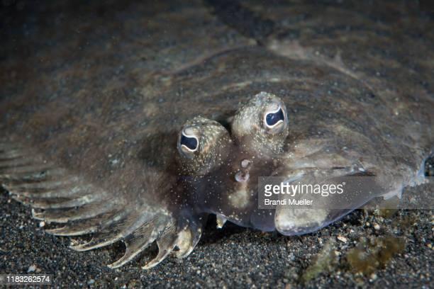 flounder underwater in lembeh strait - フラットフィッシュ ストックフォトと画像