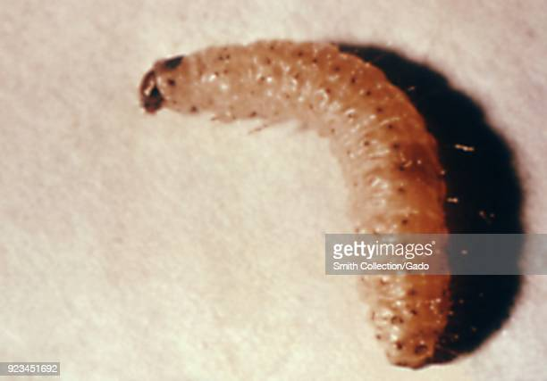 Flour moth's larva found in a migrant labor camp 1972 Image courtesy Centers for Disease Control
