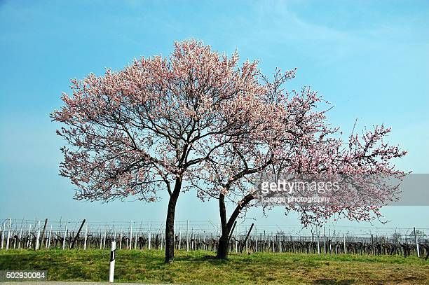Flourishing almond trees