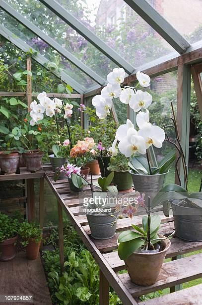 floweing orchid on greenhouse workbench - streatham stock pictures, royalty-free photos & images