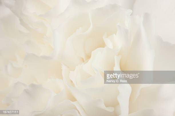 Flower, Abstract, White Carnation, Sensual, Background, Purity, Design, Feminine, Close-Up